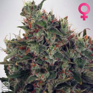 Ministry Of Cannabis – Ultra White Amnesia