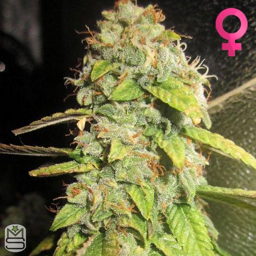 Pheno Finder Seeds - Notorious OG