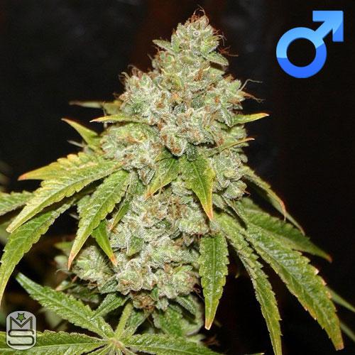 True Canna Genetics - Broad Leaf Black