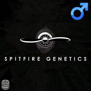 Spitfire Genetics – Mac-cube