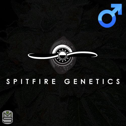 Spitfire Genetics - Regular