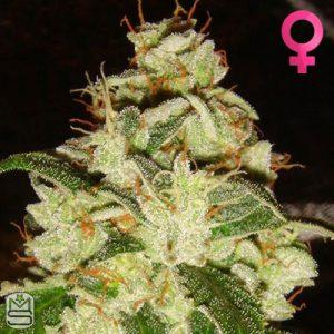 Lady Sativa Genetics Knights Bridge OG