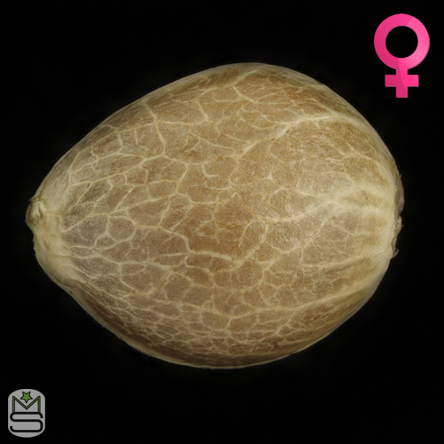 Humboldt Seed Organisation - San Bacio Gelato