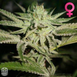 Pheno Finder Seeds – Chemhead OG