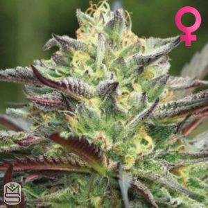Humboldt Seed Company – All Gas OG
