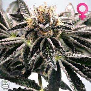 Ministry Of Cannabis – Mandarin Gelato