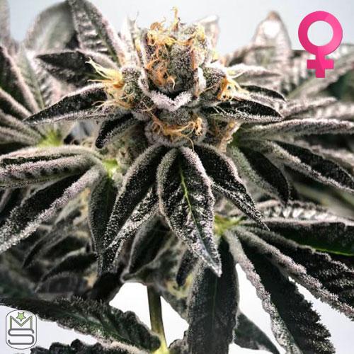 Ministry Of Cannabis - Mandarin Gelato