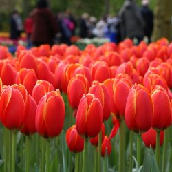 "Red tulips Keukenhof Escorted Motorhome Tour ""Springtime in Holland"" 2017"