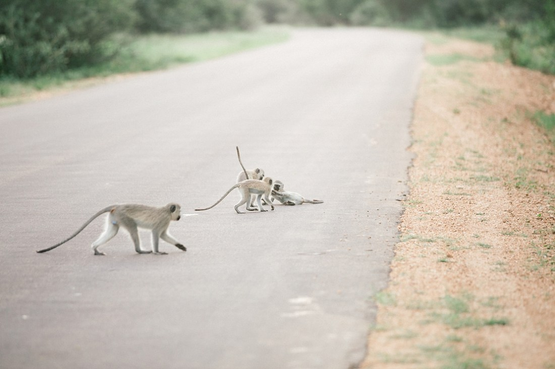 monkey at Kruger National Park