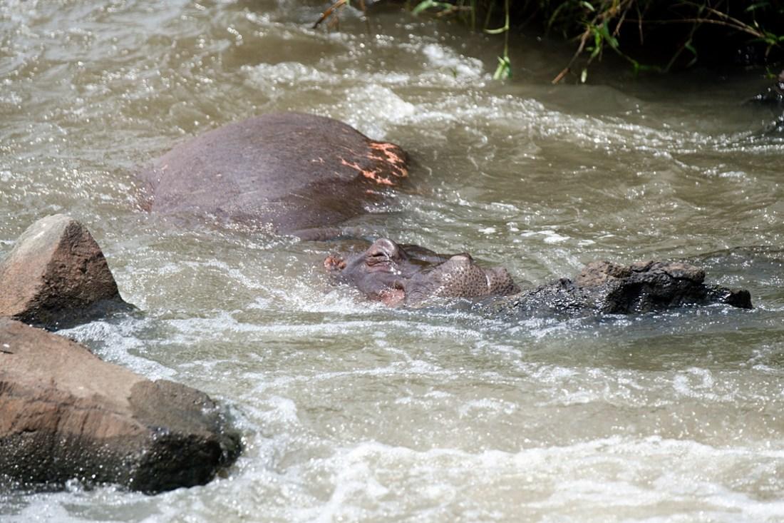 hippo in river at Kruger national park