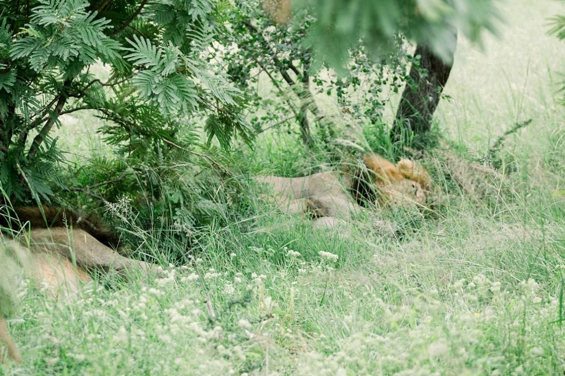 male lion at Kruger national park