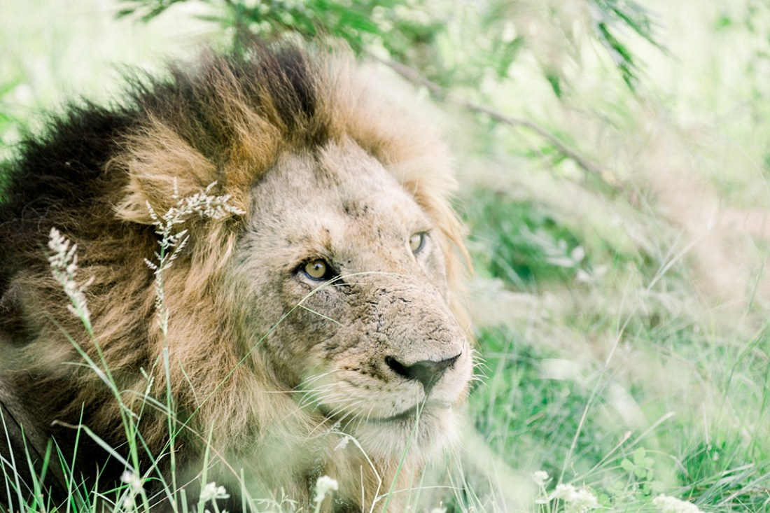 male lion at Kruger national park