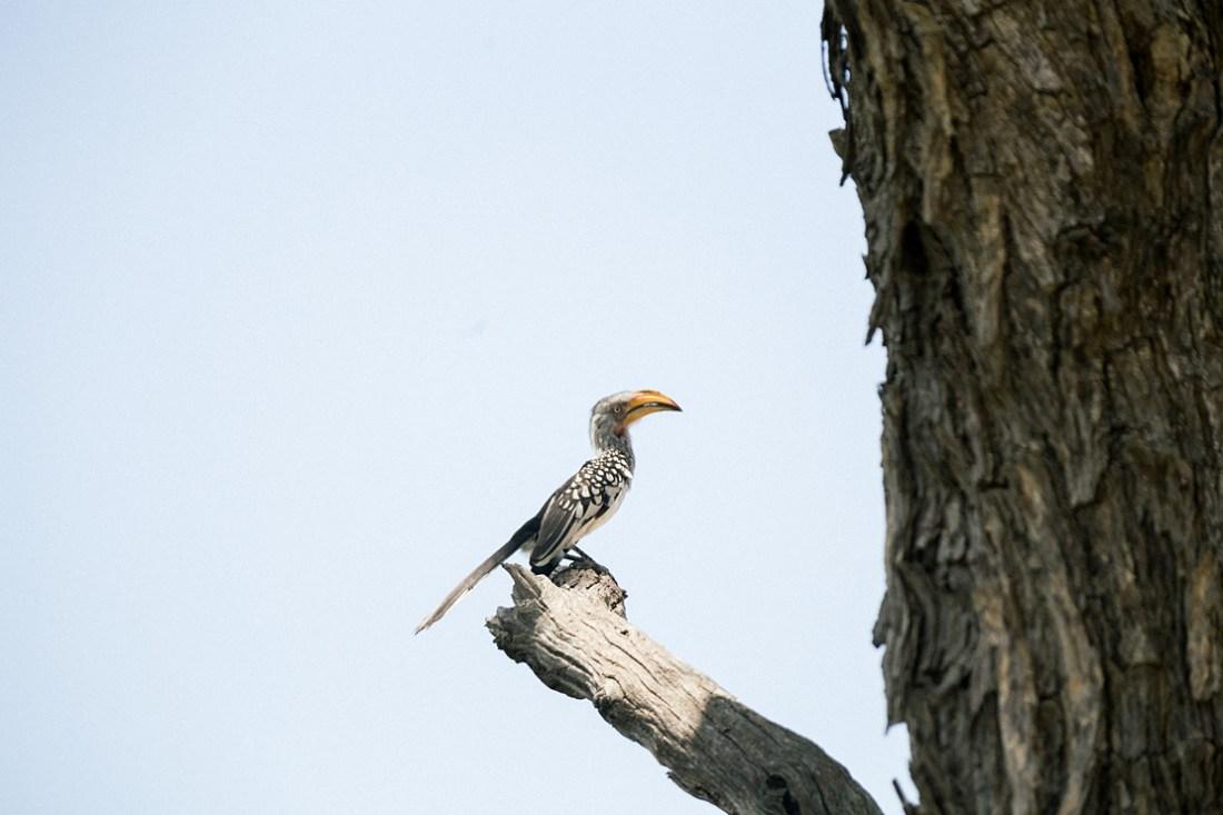 hornbill at Kruger national park