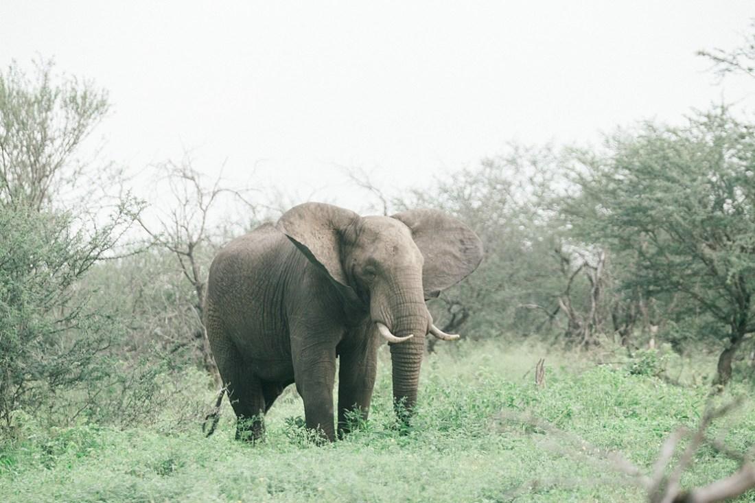 elephant at Kruger national park