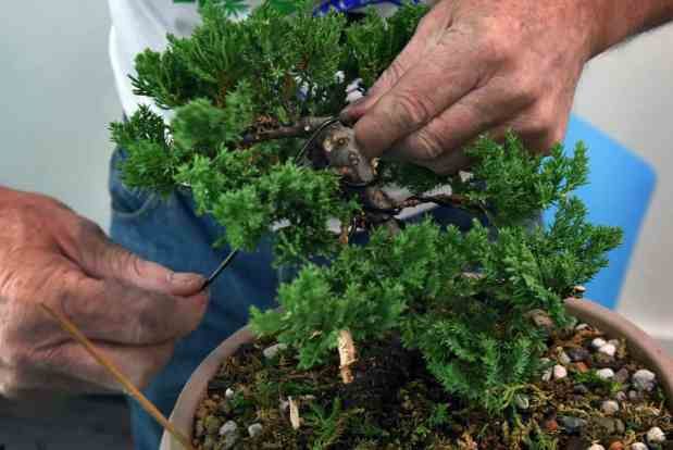 Bonsai tree training