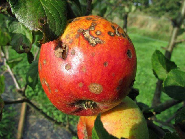 Scab on an apple