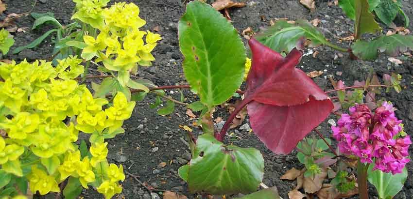 Euphorbia with Bergenia Admiral