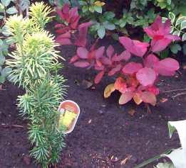 Cephalotaxus harringtonia Korean Gold and smoke bush