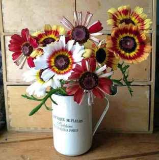 Chrysanthemum Rainbow Hippy Love Child