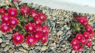 Delosperma Jewel of the Desert Garnet