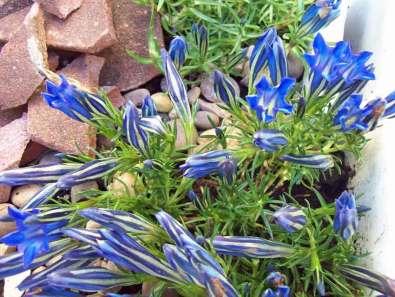 Autumn gentian Sapphire Selection