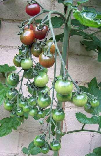 Tomato Rosella