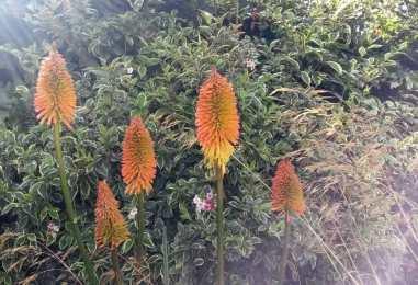 Kniphofia, Weigela variegata and Stipa gigantea
