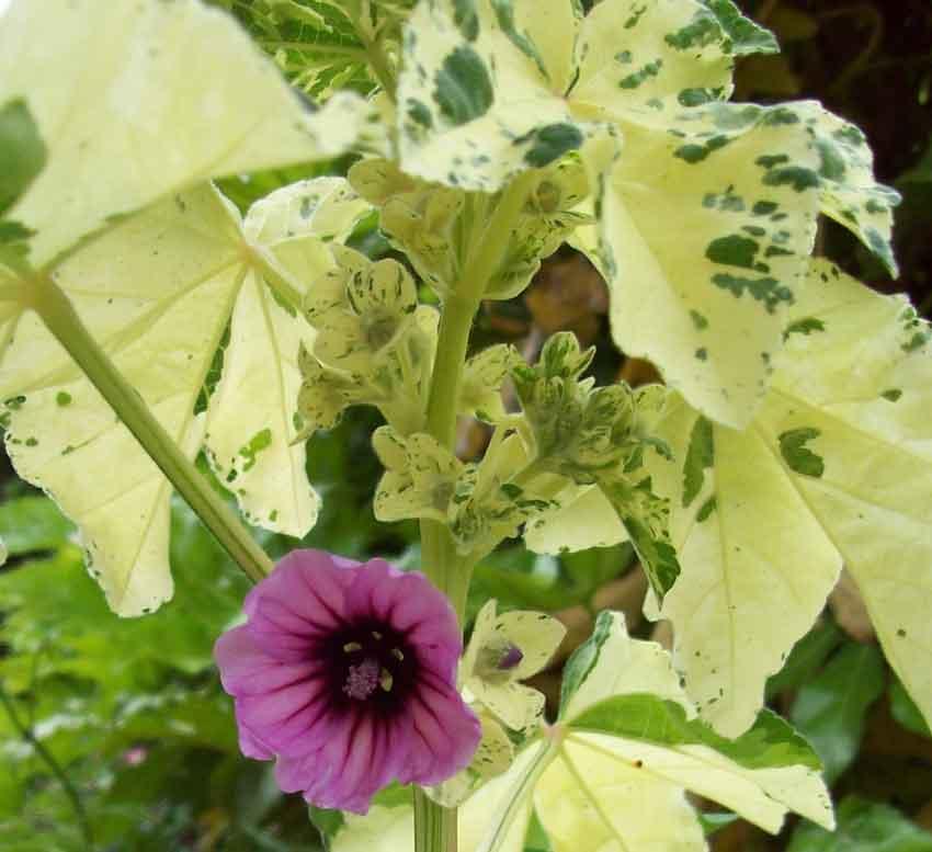 Lavatera variegata
