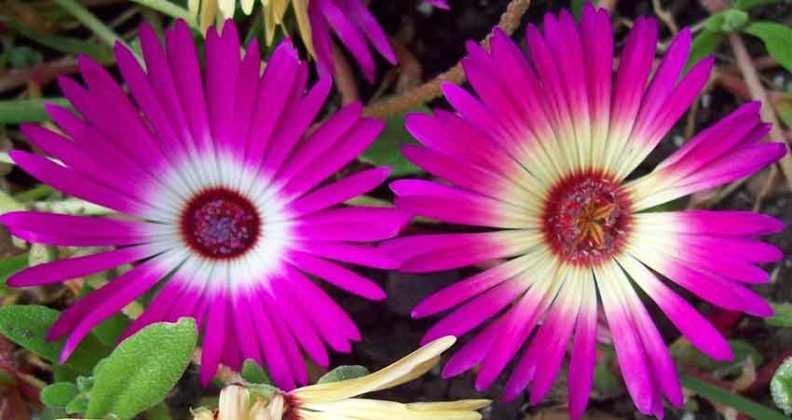 Mesembryanthemum (Livingstone daisy) Sparkles Mixed