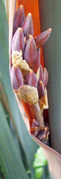 Flower buds of Phormium