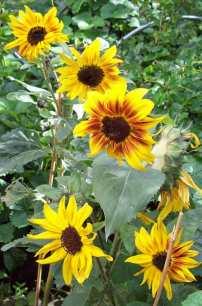 Sunflower Helios Flame