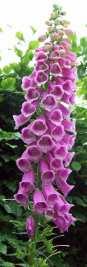 Beautiful but poisonous - foxgloves