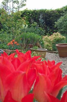 Tulip El Nino lights up the May garden