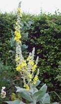 Verbascum bombyciferum