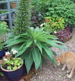 Giant Echium pininana with photobombing cat