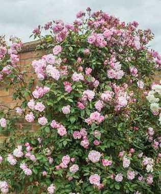 Climbing rose Mortimer Sackler