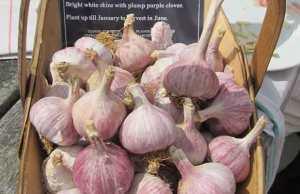 Garlic Caulk Wight