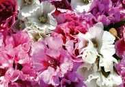 Godetia Pastel Posies Mixed. Picture; Thompson & Morgan