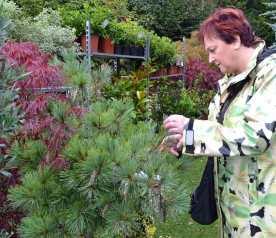 Pinus strobus radiata