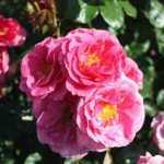 Rose Roseasy Aramis. Pictures courtesy Lubera