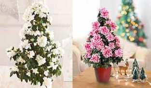 Christmas Tree Azalea.