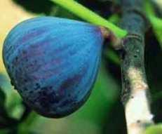 Fig Gustissimo Califfo Blue.