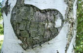 Winter heart birch