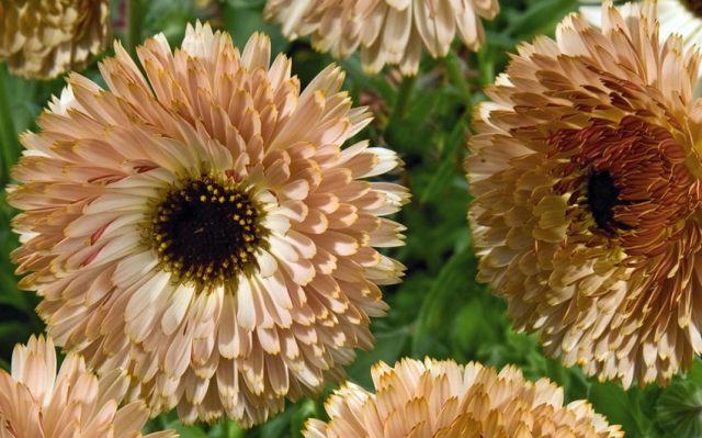 Calendula Coffee Cream. Picture; Plants of Distinction