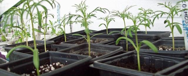 Easy to raise... cosmos seedlings