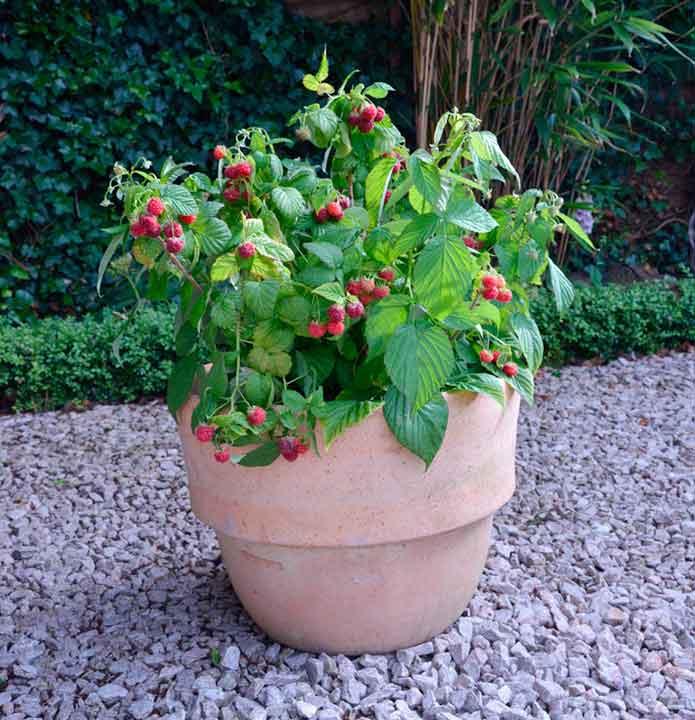 Raspberry Yummy. Picture; Dobies
