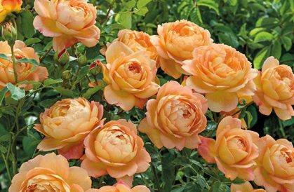 Rose Lady of Shalott