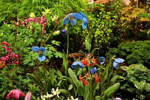 Harrogate spring flower show 2017 review harperley hall farm nurseries trademark poppies mightylinksfo