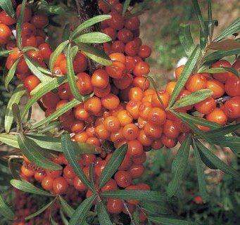 Sea buckthorn Botanica