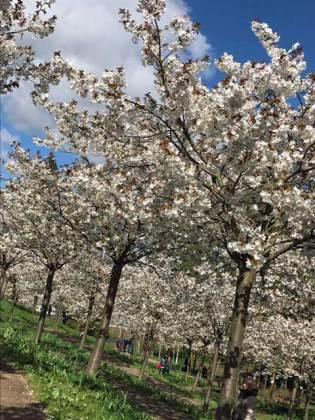 Tai Haku cherry blossom at The Alnwick Garden, Northumberland